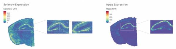 ▲마우스 뇌에서 Selenow 유전자와 Hpca발현 분석 결과(10x 지노믹스 홈페이지 참조)