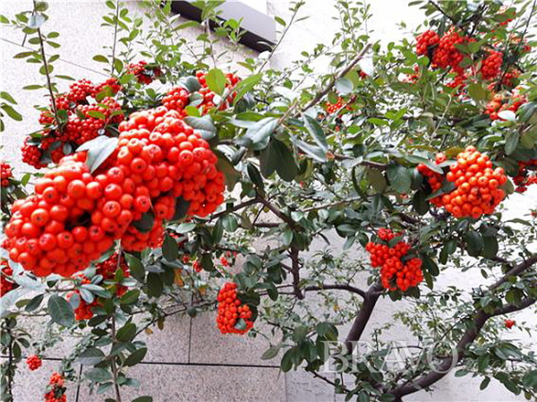 ▲관과식물 피라칸서스(홍지영 동년기자)