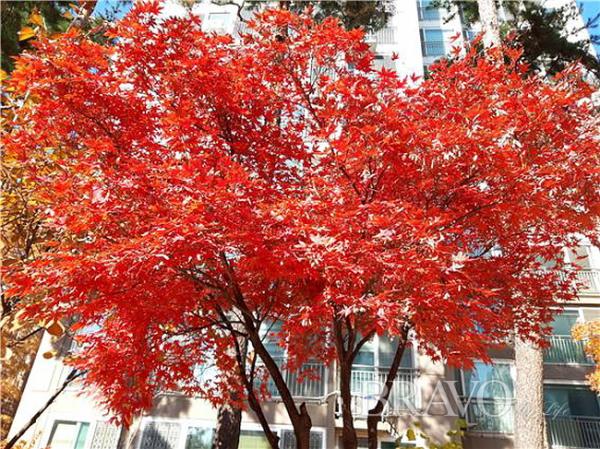 ▲붉은 단풍(홍지영 동년기자)