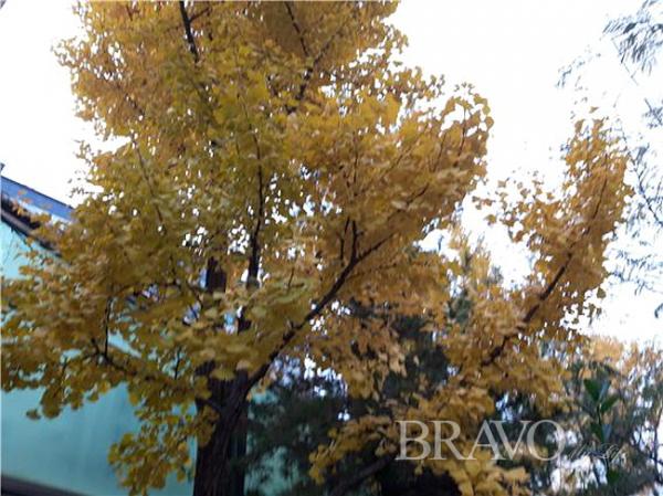 ▲은행나무 단풍(홍지영 동년기자)