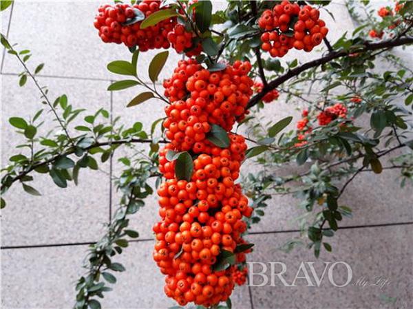 ▲피라칸서스 열매의 다양한 아름다움(홍지영 동년기자)