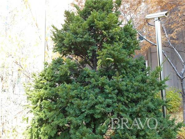 ▲늘푸른 주목나무(홍지영 동년기자)