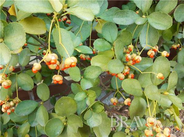 ▲늘푸른 사철나무(홍지영 동년기자)