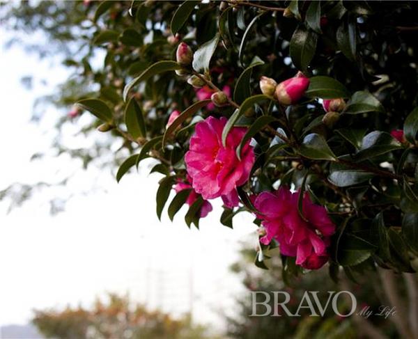 ▲찬바람에 하나 둘 피어나는 동백꽃. 2월쯤이면 온 섬이 빨갛게 물든다(변용도 동년기자)