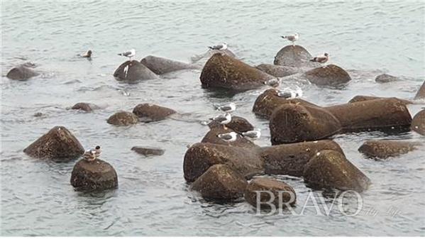 ▲종포공원 앞 바다의 한가로운 갈매기(변용도 동년기자)