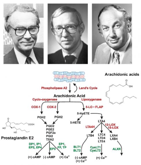 ▲그림1:  염증 반응의 주된 신호전달분자인 프로스타글란딘 (Prostaglandin)의 연구 주역과 그 합성경로. (상) 수네 뵈리스트룀 (Sune Karl Bergström, 1916-2004) 은 양의 정소에서 프로스타글란딘을 정제하고 그 화학구조를 규명하였으며 벵트 사무엘슨 (Bengt Ingemar Samuelsson, 1934-)은 프로스타글란딘의 전체 합성 및 대사 경로를 규명하였다. 존 베인 (John R Vane, 1927-2004)은 아스피린 등의 비 스테로이드성 소염진통제가 프로스타글란딘 합성 경로에서 아라키돈산을 프로스타글란딘 H2 로 전환시키는 사이클로옥시게나아제 (Cyclooxygenase, COX)를 저해함으로써 프로스타글란딘 합성을 저해하여 효과를 낸다는 것을 규명하였다.