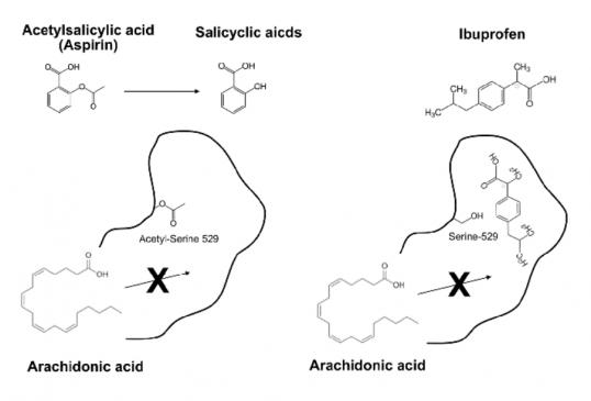 ▲그림2:  대표적인 비 스테로이드계 소염진통제인 아스피린과 이부프로펜의 기전 차이. 아스피린은 사이클로옥시게나아제 (COX)의 활성자리에 있는 529번째 세린을 아세틸화시켜 아세틸세린으로 만든다. 기질인 아라키돈산은 세린에 아세틸기가 붙어서 좁아진 활성자리에 들어가지 못하기 때문에 반응이 억제되며, 사이클로옥시게나아제는 비가역적으로 불활성화된다. 반면 이부프로펜은 세린과 반응하지는 않지만 아라키돈산이 결합할 결합자리에 결합하여 기질이 들어가지 못하도록 만든다. COX-2 의 경우 기질의 결합자리가 COX-1 에 비해서 비교적 넓기 때문에 아스피린과 세린이 반응해도 아라키돈산이 반응할 수 있으며, 이때는 원래 효소의 산물인 프로스타글란딘 H2 대신15-R-히드록시에이코사테트라노익산이라는 물질이 만들어져 항염증 작용을 한다. 반면 이부프로펜은 COX-1과 COX-2 에 모두 작용하여 프로스타글란딘 H2의 형성을 막게 된다.