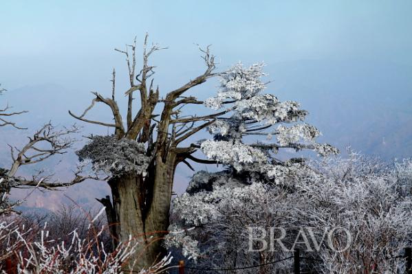 ▲주목나무 눈꽃4(김종억 동년기자)