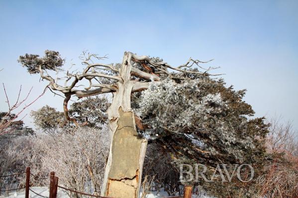 ▲주목나무 눈꽃7(김종억 동년기자)
