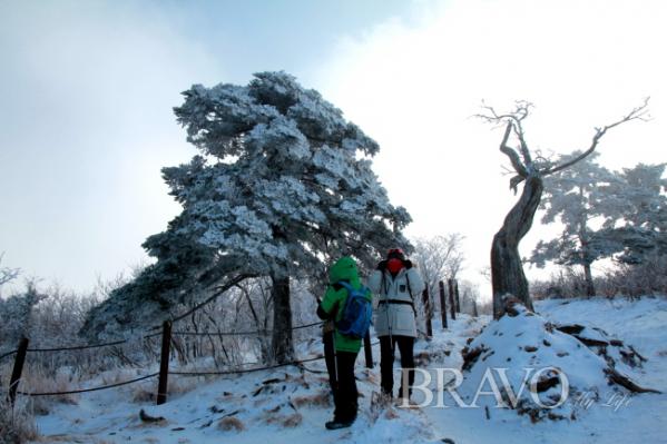 ▲주목나무 눈꽃9(김종억 동년기자)