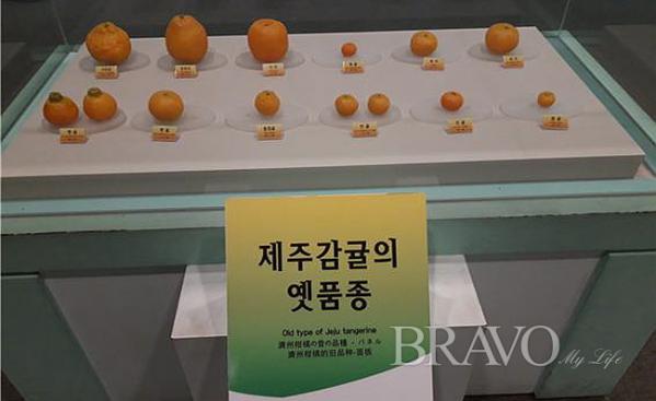 ▲제주 감귤의 옛 품종(사진 홍지영 동년기자)