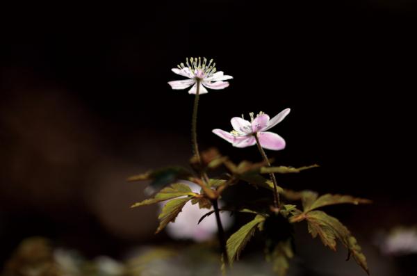 ▲미나리아재비과의 여러해살이풀. 학명은 Anemone amurensis (Korsh.) Kom.(김인철 야생화 칼럼니스트)