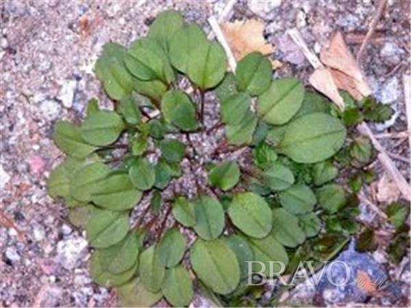 ▲안양천의 로제트식물 둥근 꽃마리(사진 홍지영 동년기자)