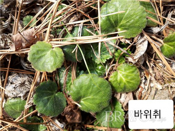 ▲북한산에서 자생하는 바위취(사진 홍지영 동년기자)