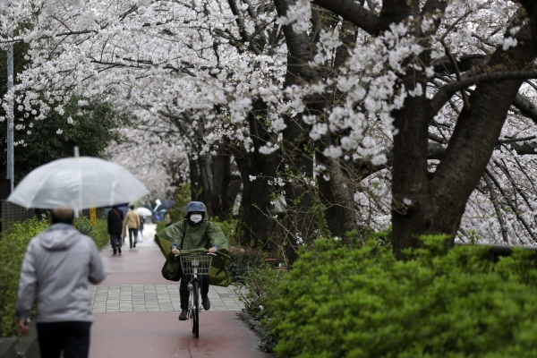 ▲일본 도쿄의 한 길가에 23일 벚꽃이 활짝 피어 있다. 일본 정부는 이날 26일부터 미국발 입국을 제한한다는 방침을 결정했다. 도쿄/AP연합뉴스