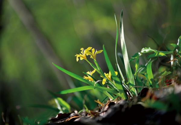 ▲붓꽃과의 여러해살이풀. 학명은 Iris koreana Nakai(김인철 야생화 칼럼니스트)