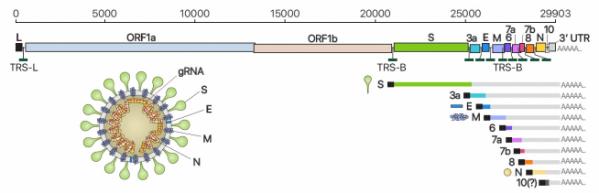 ▲사스코로나바이러스-2(SARS-CoV-2)의 유전체RNA 및 하위유전체RNA 구성, 바이러스 입자 구조의 모식도.