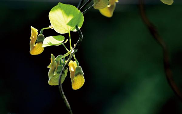 ▲쥐방울덩굴과의 낙엽 활엽 덩굴식물. 학명은 Aristolochia manshuriensis Kom.(김인철 야생화 칼럼니스트)