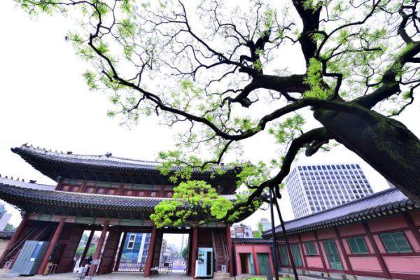 ▲돈화문 회화나무(사진 황정희 시니어기자)