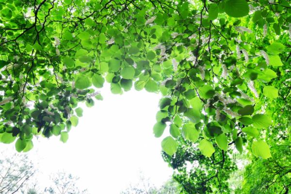 ▲쪽동백나무(사진 황정희 시니어기자)