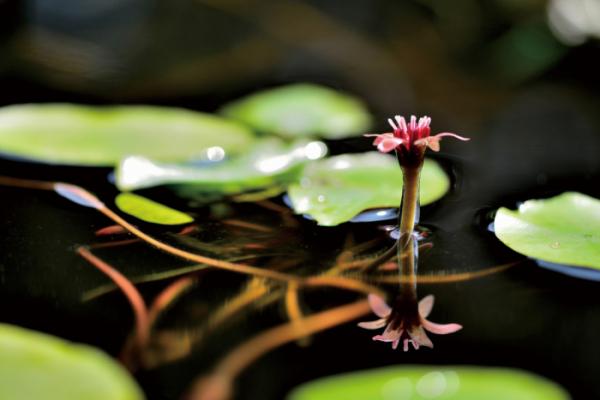 ▲어항마름과의 여러해살이 수생식물. 학명은 Brasenia schreberi J.F.Gmelin(김인철 야생화 칼럼니스트)