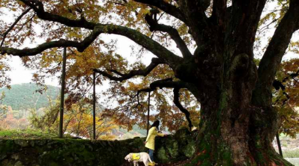 ▲맹사성 집 은행나무(사진제공=EBS)