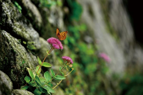 ▲돌나물과의 여러해살이풀. 학명은 Hylotelephium spectabile (Boreau) H.Ohba.(김인철 야생화 칼럼니스트)