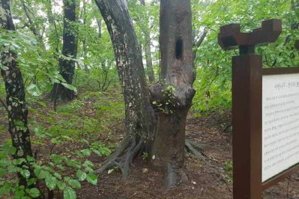 ▲상림 연리목(사진 이명애 시니어기자 )
