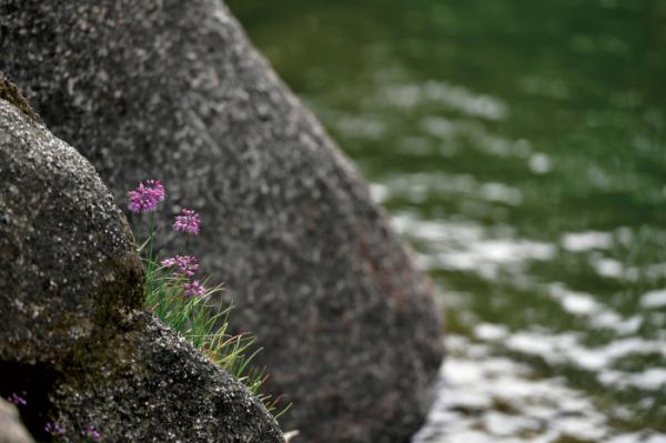 ▲백합과의 여러해살이풀. 학명은 Allium longistylum Baker(김인철 야생화 칼럼니스트)