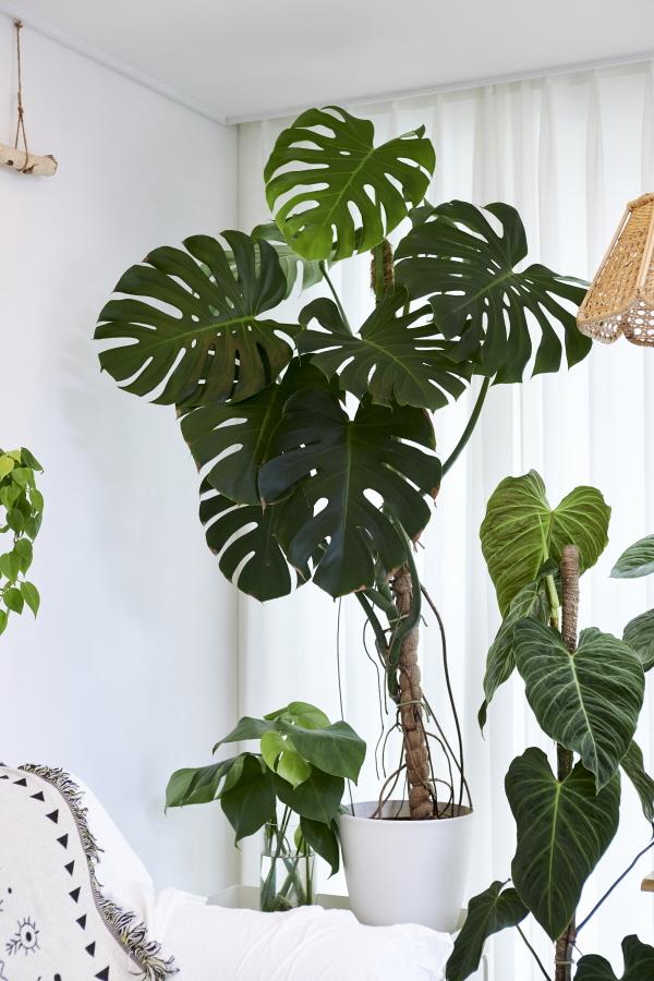 ▲이대호 씨의 첫 반려식물. 2018년 초 소형 사이즈를 1만 원 대에 구매했다.(오병돈 프리랜서 obdlife@gmail.com)