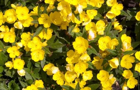 ▲밤에 피는 달맞이꽃은 노란색이 대표적이다.