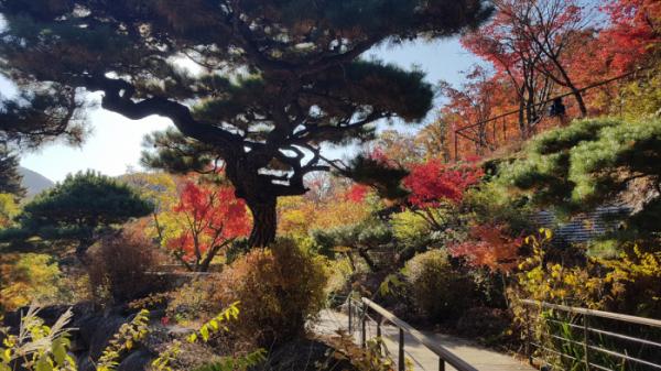 ▲굽이굽이 뻗어나간 소나무와 단풍나무의 조화는 화담숲에서만 볼 수 있는 풍경이다.(사진 이명애 시니어기자)
