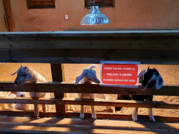 ▲아기 양에게 먹이를 주지 마세요.(사진 황정희 시니어기자)