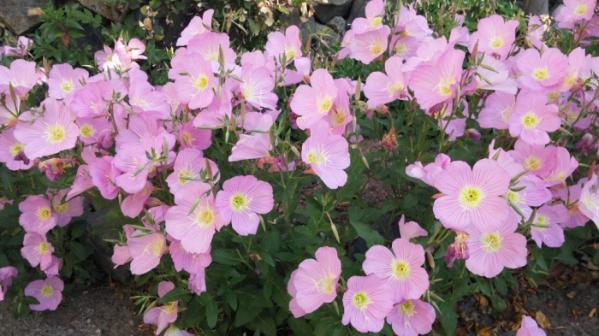 ▲낮에 피는 분홍달맞이꽃이 화사하고 깔끔하다.