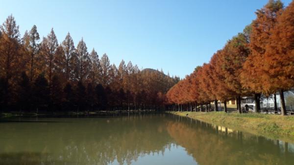 ▲메타세쿼이아 길에서 만난 호수(사진 정원일 시니어기자)