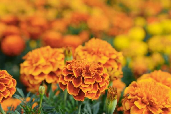 ▲메리골드의 꽃말은 '반드시 오고야 말 행복'이다.