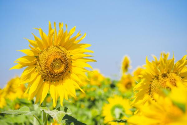▲해바라기는 황금을 연상시키는 커다랗고 노란 꽃 덕분에 꽃말과는 별개로 재물의 상징으로 여겨진다.