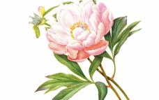 왕이 사랑한 꽃 '작약'