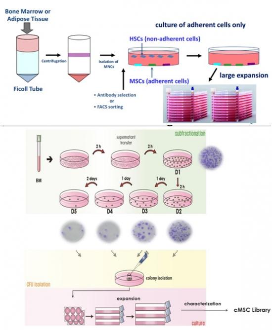 ▲오사이리스의 줄기세포분리배양기술인 GCM(위)와 SCM생명과학의 SCM 비교. SCM생명과학.