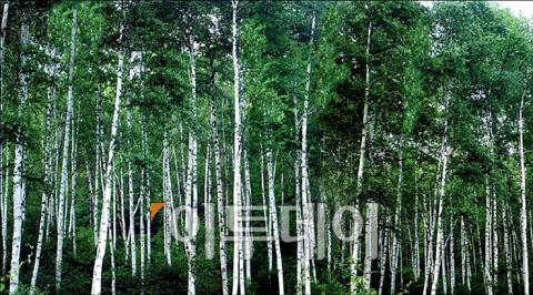 ▲자작나무가 빼곡한 숲 전경.(산림청)
