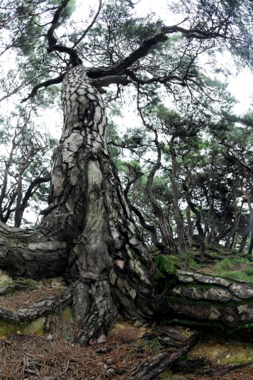 ▲건강한 뿌리를 땅 위로 드러낸 채 숲을 이룬 전북 남원 부절리의 소나무. 살아 움직이는 용의 모습처럼 얽히고설킨 소나무들에서 인고의 시간을 잘 이겨낸  강인함을 엿볼 수 있습니다. 창간 9주년을 맞은 이투데이의 지난 시간은 흔들리지 않는 소나무가 되기 위한 과정이었습니다. 늘 푸른 소나무처럼 이투데이는 변함없이 대한민국 '뿌리산업' 성장에 함께 하겠습니다.   남원=신태현 기자 holjjak@