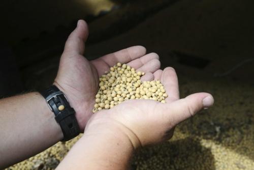 ▲미국 미네소타주 클레어먼트 인근의 한 농가에서 농부가 대두를 들어보이고 있다. 중국은 10일(현지시간) 재개하는 미중 고위급 무역회담에서 대두 수입 확대를 제안할 것으로 예상된다. 클레어먼트/AP뉴시스