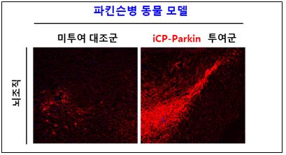 ▲iCP-Parkin 투여 후 파킨슨병 뇌조직에서 회복된 도파민 분비 신경세포(붉은색) 모습. (자료제공=셀리버리)