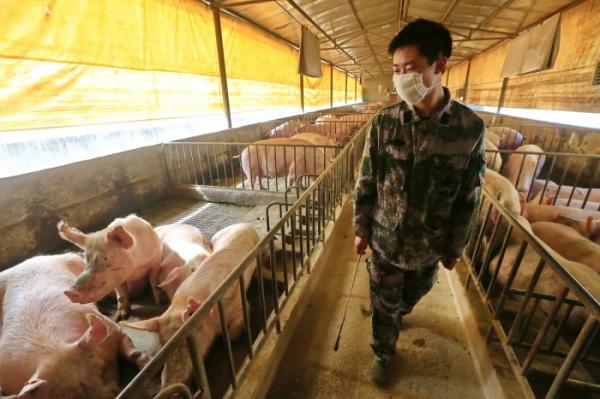 ▲중국에서 신종 돼지독감 바이러스가 검출됐다는 연구 결과가 나왔다. 이 신종 돼지독감 바이러스는 전염성이 강한 것으로 나타나 팬데믹 가능성이 제기되고 있다. (EPA/연합뉴스)