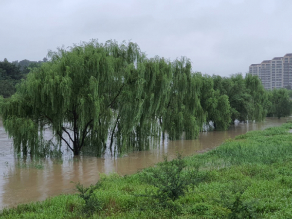 ▲전북지역에 200㎜가량의 폭우가 쏟아진 가운데 30일 오전 홍수주의보가 내려진 전주천변의 큰 나무들이 물에 잠겼다. (연합뉴스)