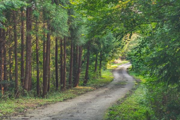 ▲곧은 편백과 굽어지는 길이 묘한 조화를 이루는 호랑산 둘레길.