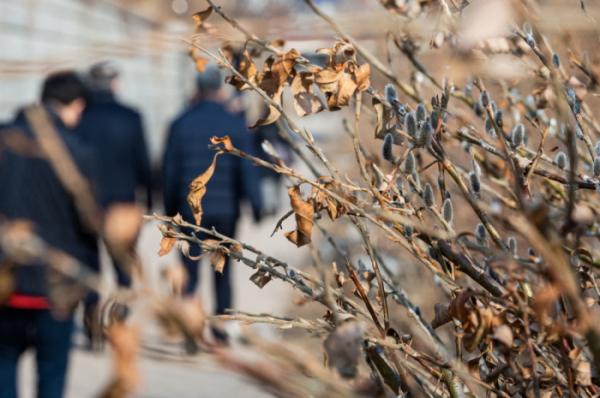 ▲서울 청계천에 봄의 전령 버들개지가 하얀 솜털을 뽐내며 활짝 피어 있다, 조현호 기자 hyunho@ (이투데이DB)