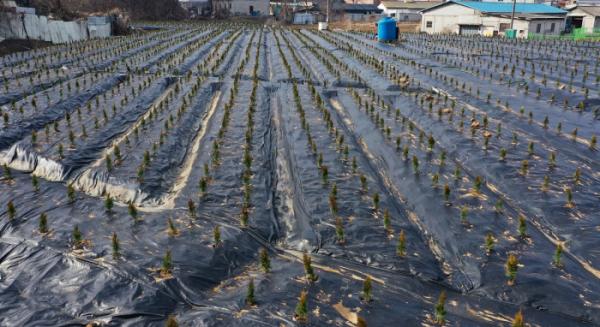 ▲3일 오후 투기 의혹이 제기된 경기도 시흥시 과림동의 한 밭에 묘목들이 심겨져 있다. (연합뉴스)
