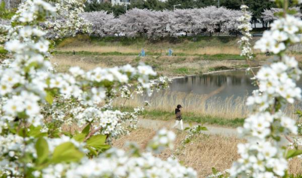 ▲따스한 봄 날씨가 이어진 31일 전북 전주시 완산구 효자동 효자교 인근 삼천 천변에 봄꽃이 만개해 있다. (뉴시스)