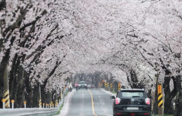 ▲4일 경남 함양군 오십리벚꽃길에 벚꽃이 만개해 있다. (사진제공=함양군청)